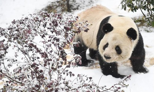 Giant panda Liang Liang is seen at the snow-covered wild animal zoo of Hefei, capital of east China's Anhui Province, Jan. 9, 2019. (Photo/Xinhua)