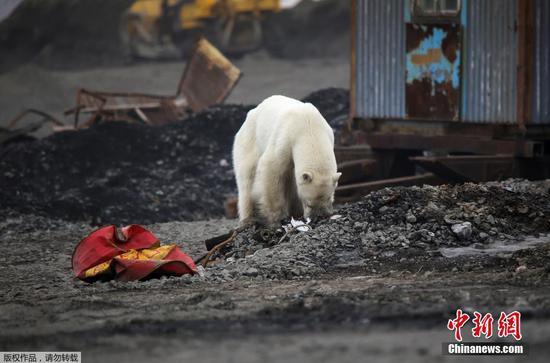 饥饿和精疲力竭的北极熊游荡到俄罗斯城市