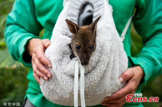 Baby wallaby hand-reared in rucksack after mother dies of pneumonia