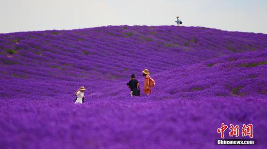 Beautiful lavender has lured tourists to Huocheng County in northwest China's Xinjiang Uygur Autonomous Region. (Photo/China News Service)