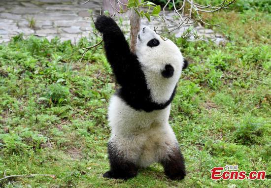 """大熊猫幼崽在""""幼儿园""""玩得开心"""