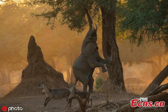 Elephants learn new ways to feast during dry season