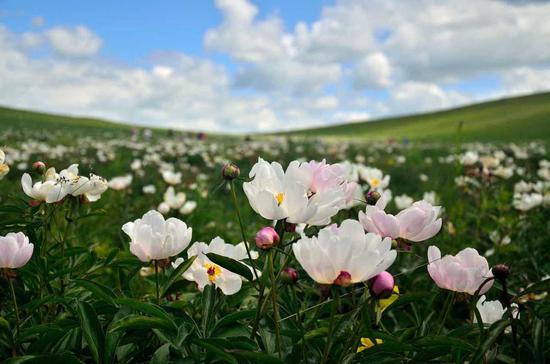 Wild peony flowers blossom in Inner Mongolia