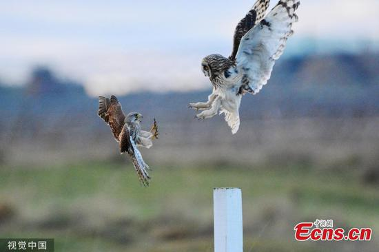 Angry birds! pictures show battle between owl and kestrel
