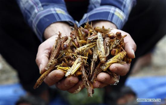 Swarms of locusts fly in Sanaa, Yemen