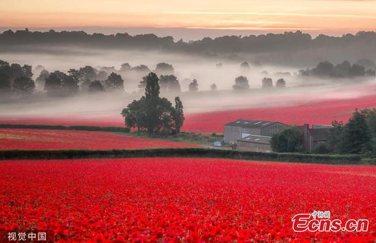 English countryside aflame as poppies bloom