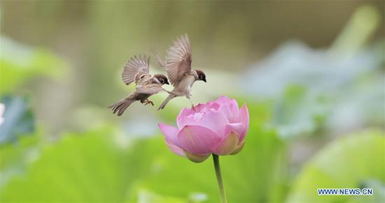 Sparrows seen over lotus flower at Zizhuyuan Park in Beijing