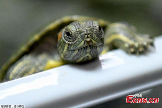 Malaysian customs foils attempts to smuggle baby tortoises