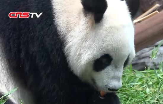 Oldest sister of world's only panda triplets to have baby