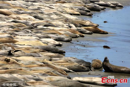 Hundreds of elephant seals enjoy sunshine on a beach