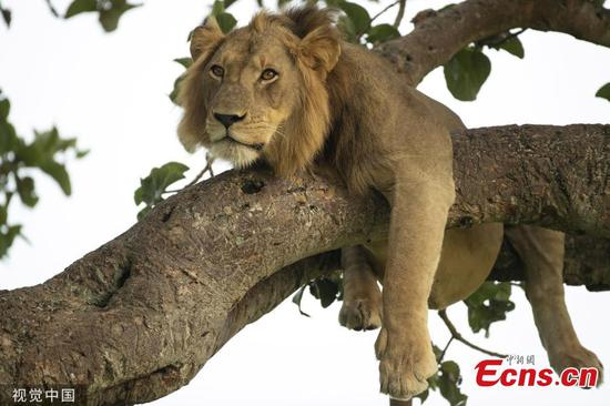 Lions napping in trees in Uganda's Park