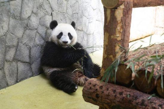Photo taken on June 4 shows panda Ding Ding at Moscow Zoo. (Photo: Xinhua/Bai Xueqi)