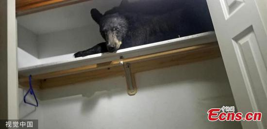 Bear falls asleep in wardrobe after entering home