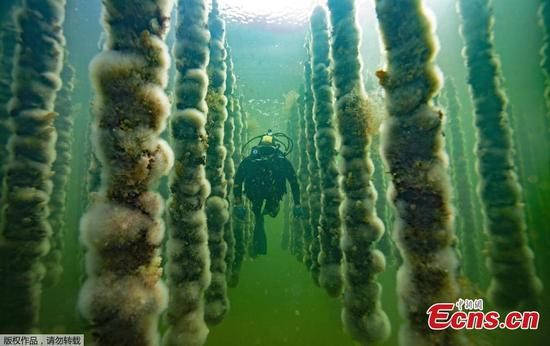 Oyster farm in pond in France