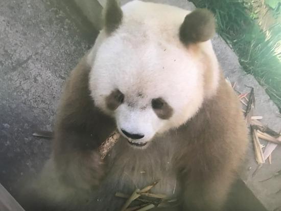 A Qinling panda. /CGTN Photo
