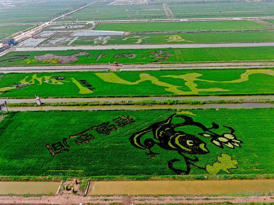 Rice fields form colorful landscape pictures