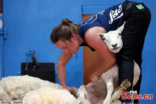 Sheep shearers flock to world championship in France
