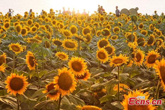 Scenery of sunflower field attracts tourists in E China's Huaian