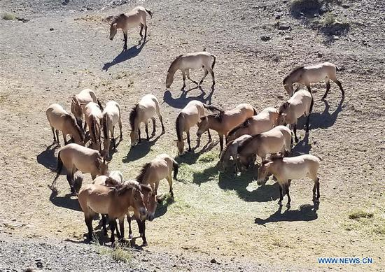View of wild horses in NW China's Xinjiang
