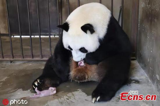 Panda Zhu Zhu gives birth to twins