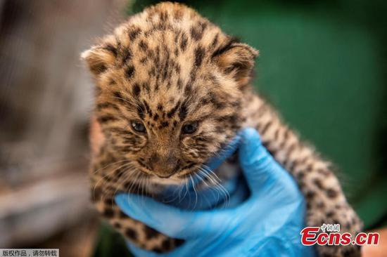 Leopard cubs undergo health check in Copenhagen Zoo