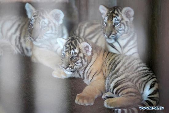 2月底,黑龙江省繁育中心出生了30多只西伯利亚虎崽