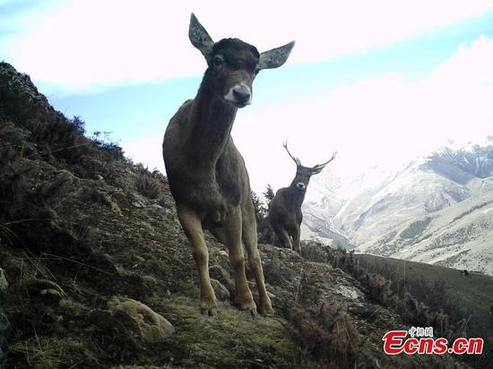 澜沧江上游发现野生动物