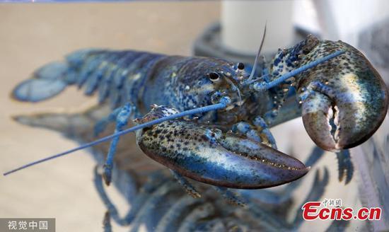 罕见的蓝龙虾最终在马萨诸塞州的餐厅