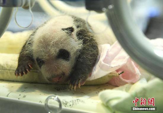 A newborn panda cub stays in an incubator, July 16, 2019. (Photo: China News Service/Chen Chao)