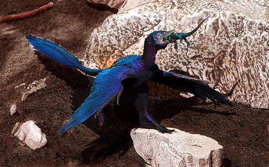 Photo shows the reconstructed scene of the microraptor swallowing the lizard. Photo provided by the Institute of Vertebrate Paleontology and Paleoanthropology under the Chinese Academy of Sciences