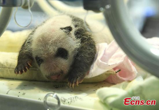 Two sets of panda twins born on same day in Chongqing Zoo
