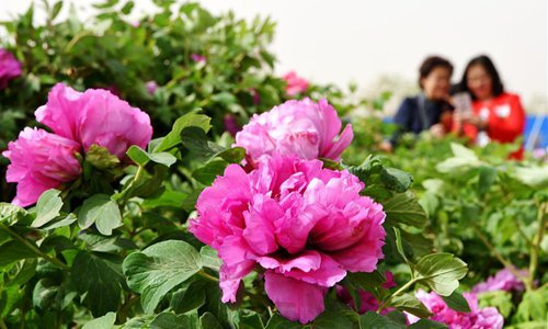 Tourists enjoy peony flowers at the Yellow River Wetland Park in Bayannur City, North China's Inner Mongolia Autonomous Region on April 29, 2018. (Photo/Xinhua)
