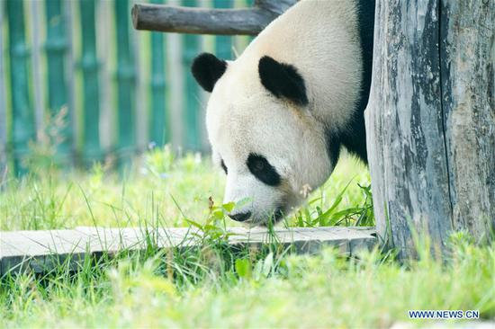 Giant pandas Sijia and Youyou plays at Giant Panda House in Heilongjiang