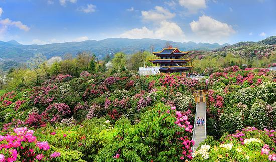 The Baili Azalea Nature Reserve in Bijie, Guizhou province. Rising about 1,200 meters to 1,800 m above sea level, the area's low ultraviolet rays and high forest coverage rate makes it a natural oxygen bar. (Photo/gog.cn)