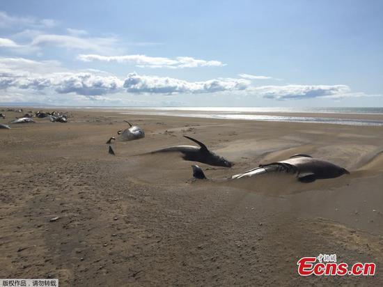 在冰岛发现数十头死鲸被搁浅