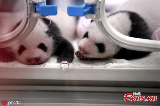 Photo taken on July 23, 2019 shows the one-month anniversary of four panda cubs born on  June 23, to two mother pandas at the Chongqing Zoo. (Photo/IC)