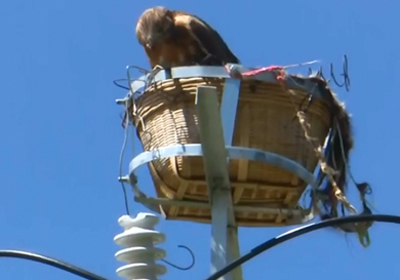Artificial nests at nature reserve protect birds from electrical wires