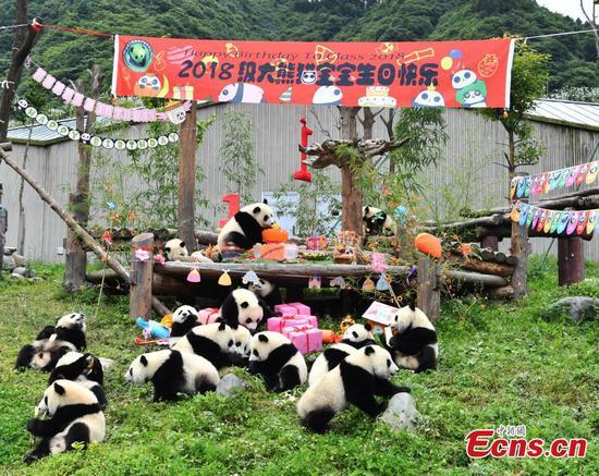 18只熊猫幼崽在四川举行生日聚会