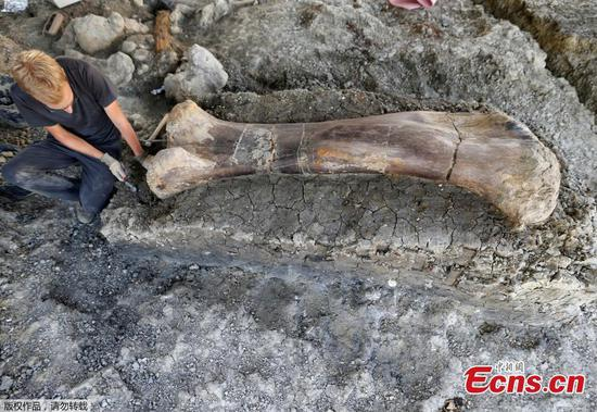 Gigantic dinosaur femur found in southwestern France