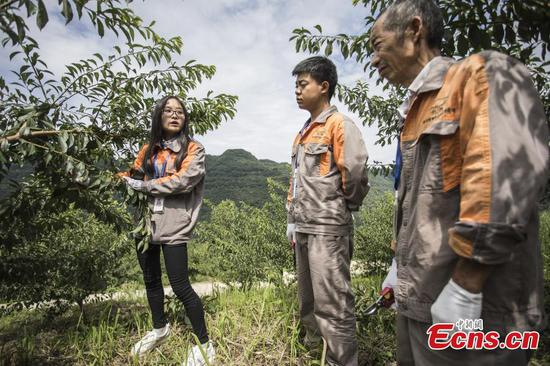 Young woman dedicated to plum orchard in Sichuan