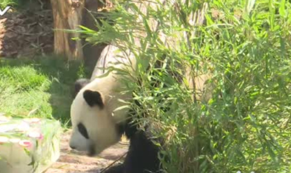 Pandas new tourist attraction in China's plateau city