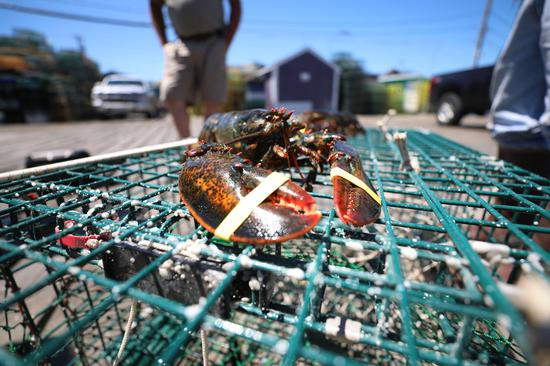U.S. lobster industry bogged down after losing Chinese market