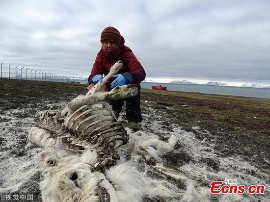 Hundreds of reindeer starve to death on Arctic islands 'due to climate change'