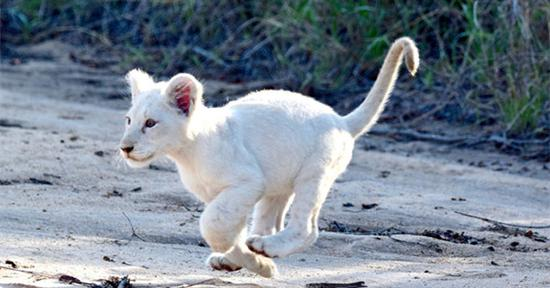 White lion cub spotted in Kruger National Park