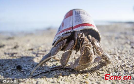 Hermit crab uses litter cans as home