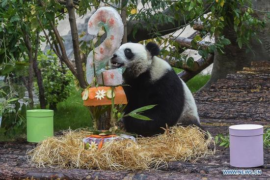 Moscow Zoo celebrates birthday for giant pandas Ding Ding, Ru Yi