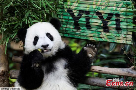 揭露了第二个出生于马来西亚的熊猫宝宝的名字!跟仪仪打个招呼