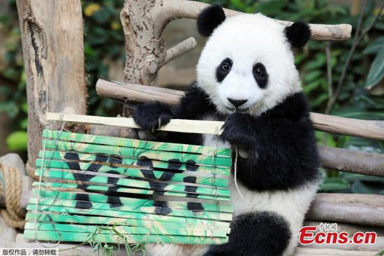 Nineteen-month-old female panda cub Yi Yi holds a sign with her name during her naming ceremony at Malaysia?s National Zoo in Kuala Lumpur, Malaysia, August 1, 2019. (Photo/Agencies)