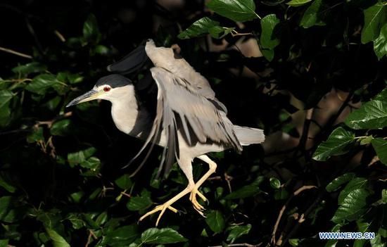 Night herons at Shanghai Zoo
