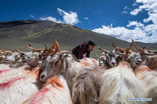 Herdsmen milk sheep in Rutog County, China's Tibet